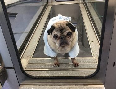 Having had his regular hydrotherapy fitness session and a warm shower, Pugsy demonstrates that he would rather like another turn.